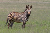 Endangered Cape Mountain Zebra standing in green grassland — Stock Photo