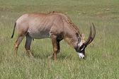 Roan antelope grazing in green grassland — Stockfoto
