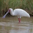 Stock Photo: AfricSpoonbill wading in shallow water