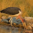 Stock Photo: Marabou stork wading in shallow water