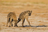 Two Spotted hyenas in open field — Stock Photo
