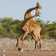 Two male Giraffes fighting — Stock Photo #19655123