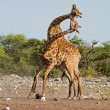 Stock Photo: Two male Giraffes fighting