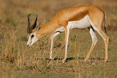Close-up of Springbok walking in grass-field — Stock Photo