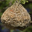 Stock Photo: Weaver bird nest