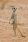 Suricate or meerkat standing in Kalahari desert — Stock Photo