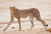 Cheetah walking in dry riverbed — Stock Photo