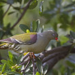 Royalty-Free Stock Photo: African Green Pigeon