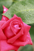 Close up  rose flower — Stock Photo