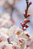UME Japanese plum-blossom — Stock Photo