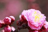 Japoński śliwki ume-kwiat — Zdjęcie stockowe