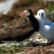 Brown Booby - Stockfoto