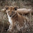Africlion cub — Stock Photo #12682675