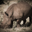 African rhino - Stock Photo