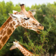 Giraffe eating branch leaf — Stock Photo