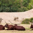 Group of Zebra and ankole-watusi — Stock Photo