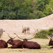 Group of Zebra and ankole-watusi - Stock Photo