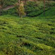 nelliyampaty hills tea fields — Stock Photo