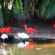 Scarlet Ibis - 