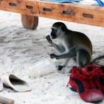 Vervet Monkey — Stock Photo #12684242