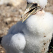 White booby — Stock Photo