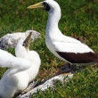 Stock Photo: White booby