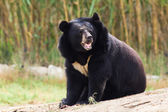 Asian Black Bear roaring — Stock Photo