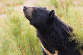 Asian Black Bear portrait — Stock Photo