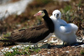 Brown Booby — Stock Photo