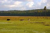 Cows grazing in bahia — Stock Photo