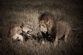 African lion couple — Stock Photo