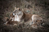 African lion family — Stock Photo