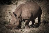 African rhino — Stock Photo