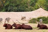 Group of Zebra and ankole-watusi — Stock Photo