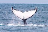 кит горба — Стоковое фото