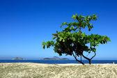 Ipanema tree — Stock Photo