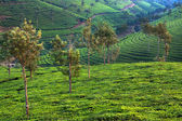 Nelliyampaty Hills Tea Fields in mumnar Kerala state india — Stock Photo