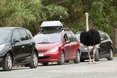 Ostrich in a safari — Stock Photo
