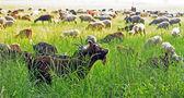 Ram and goat herd — Stock Photo