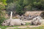 Rhinoceros group — Stock Photo