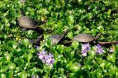 The Painted Turtle — Stock Photo