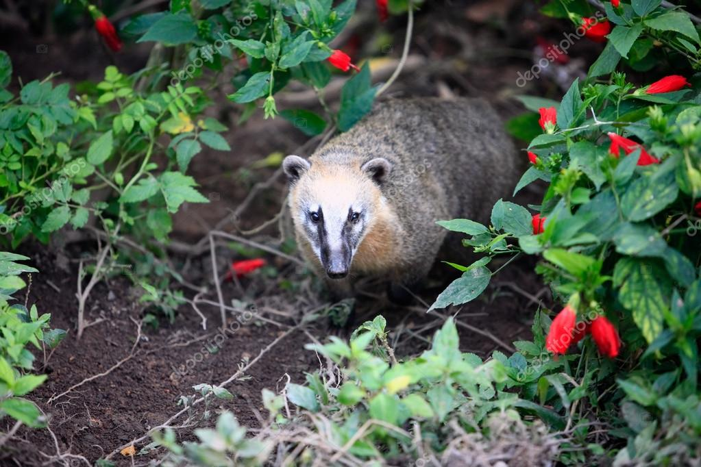 Coati on the tree — Stock Photo #12682291