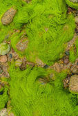 Green alga Brehat island france — Stock Photo