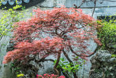 Red-leafed bonsai tree Yuyuan garden shanghai china — Stock Photo