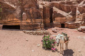 Donkey in nabatean city of petra jordan — Stock Photo