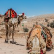 Camels in nabatean city of  petra jordan — Stock Photo