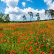 Red poppy field — Stockfoto