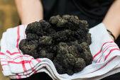 Biggest black truffle dordogne perigord France — Stock Photo