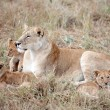 Stock Photo: Female Lion and cubs in Masai MarKenya