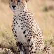 Stock Photo: Cheetah Masai MarReserve KenyAfrica